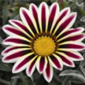 Однолетние цветы  (11)